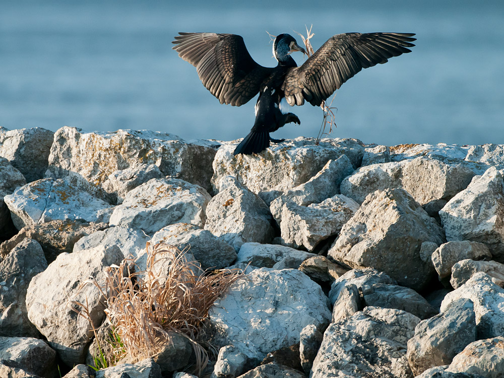 cormorant collecting  nesting material